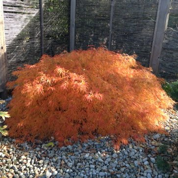 bright orange japanese maple