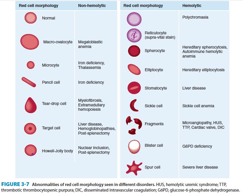rbc morphology abnormal