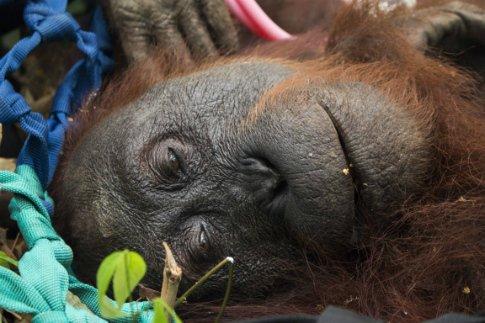 Wildfires decimate orangutans in Indonesia - https://t.co/c5vNcFPPR3 https://t.co/1mTbZ1KJxC https://t.co/yOATLrIVGa