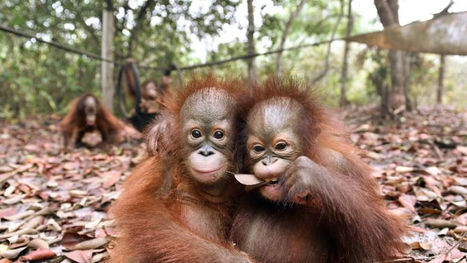 Baby orangutans, suffering from respiratory problems caused by thick haze, play at BOSF https://t.co/6lmEDri9xl https://t.co/9KRN14ZaDg