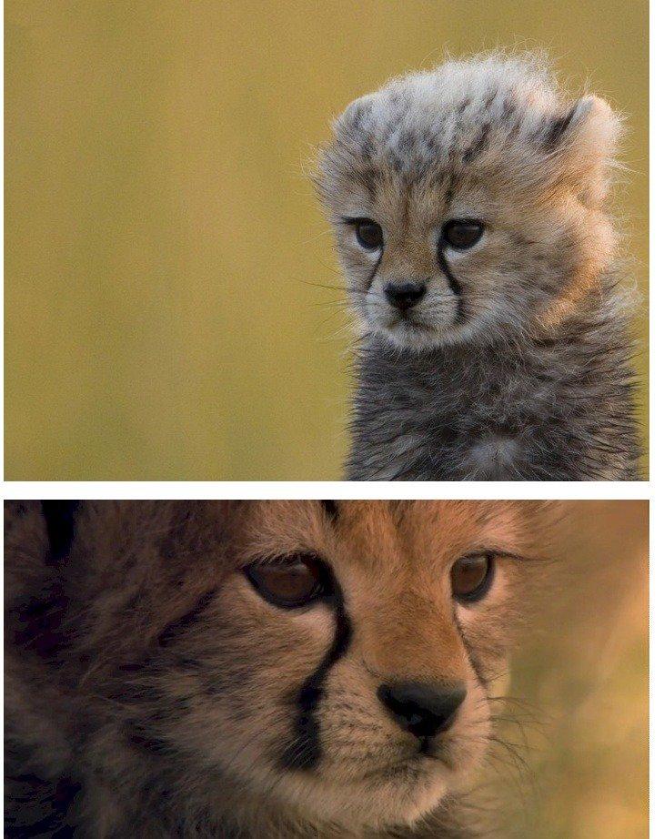 우리의 친구 치타가 멸종 위기라고 합니다. https://t.co/zlBqG4071k