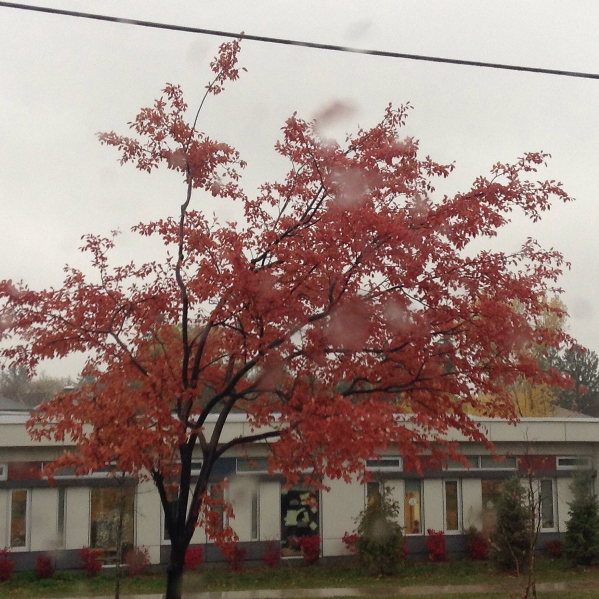 red leafed tree in rainstorm