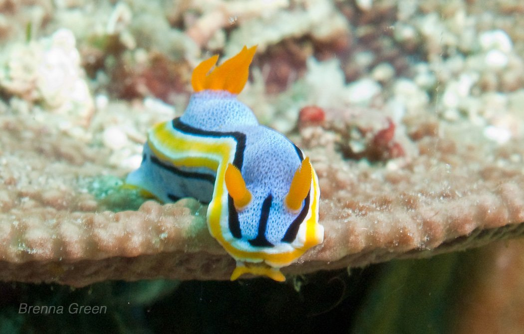 It's already Oct 29 in the Philippines, so let #SeaSlugDay begin! Here's Chromodoris annae in Lubang, Philippines! https://t.co/AN9jysbUFi