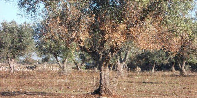 Los Angeles: Xylella fastidisiosa killer tra alberi secolari e magnolie.
