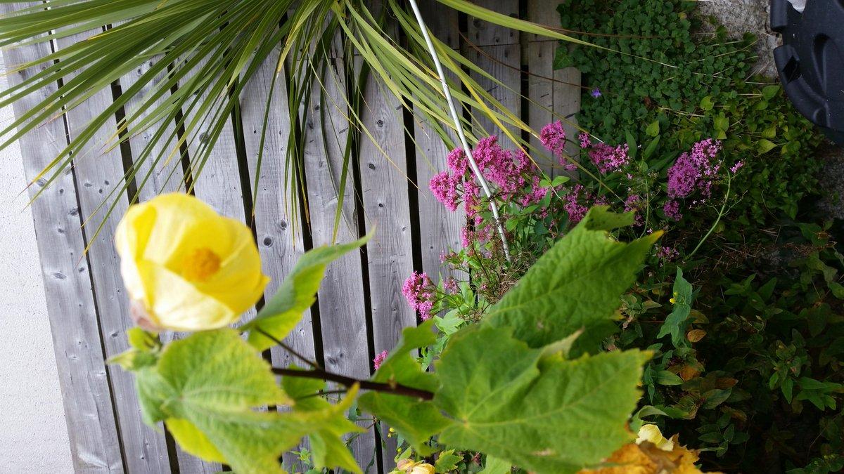 Colm Doyle On Twitter Abutilon Canary Bird Flowers Through