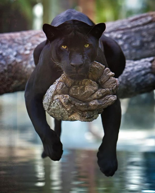 Panther Zoo Piclogy On Twitter Black Panther In Jacksonville Zoo