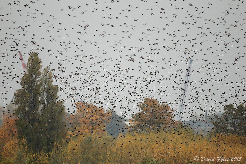 15000 starling murmuration @WWTMartinMere, best viewed at Harrier Hide #Autumnwatch. Thanks to David Fyles for pics https://t.co/YRnj7FGLPs