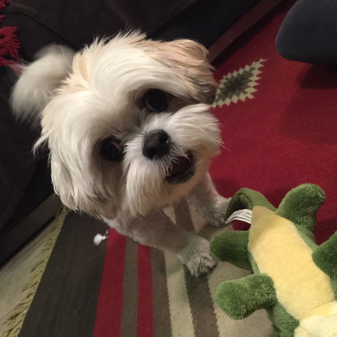 Day 45: this little creature spreads so much joy #101smiles #darkswan #onceuponatime #avathedog https://t