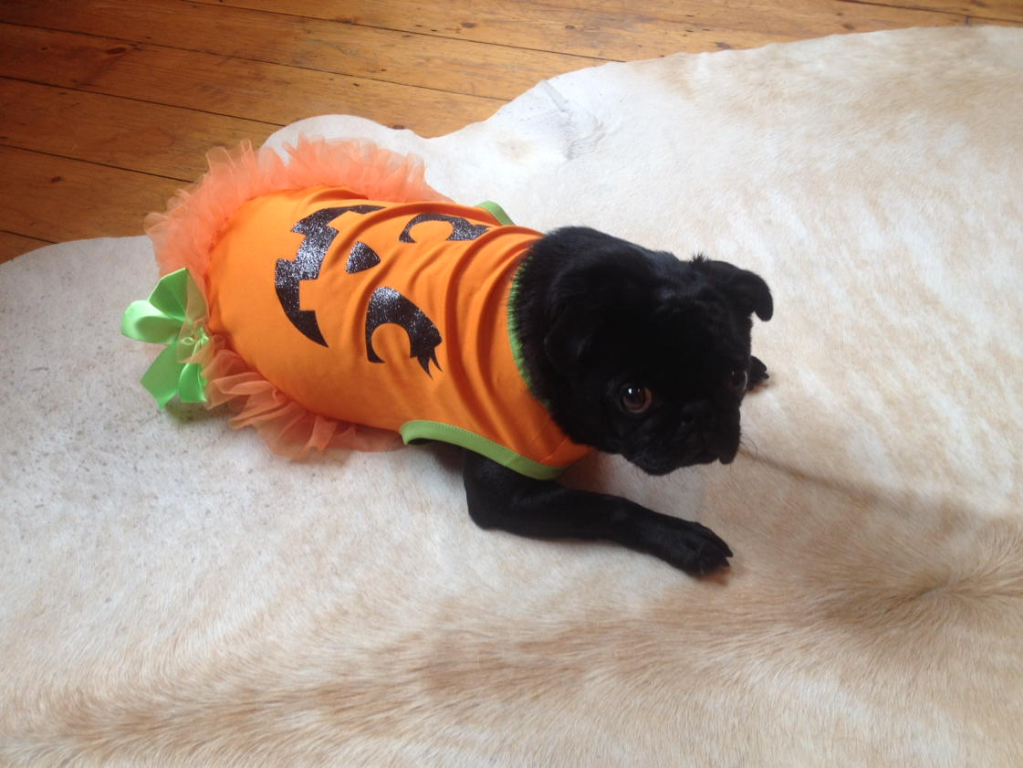 Bettie says thank you @asda for turning her into a Pumpkin Pug! Happy Halloween