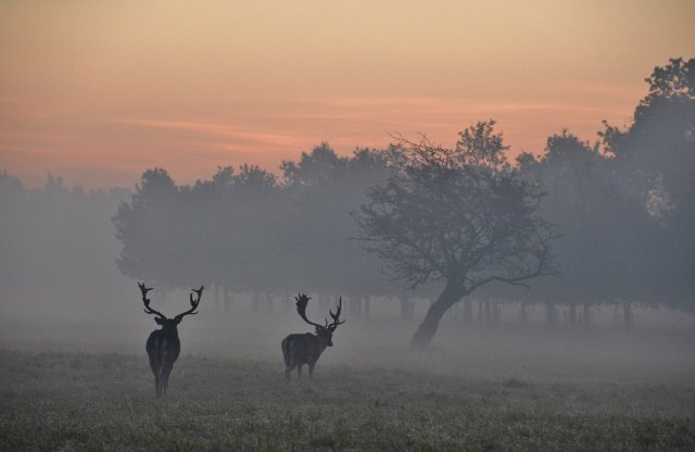 Stags at dawn in a very foggy #PhoenixPk #Dublin, 01.11.15 (2).  #Fog https://t.co/lICdDHKoir