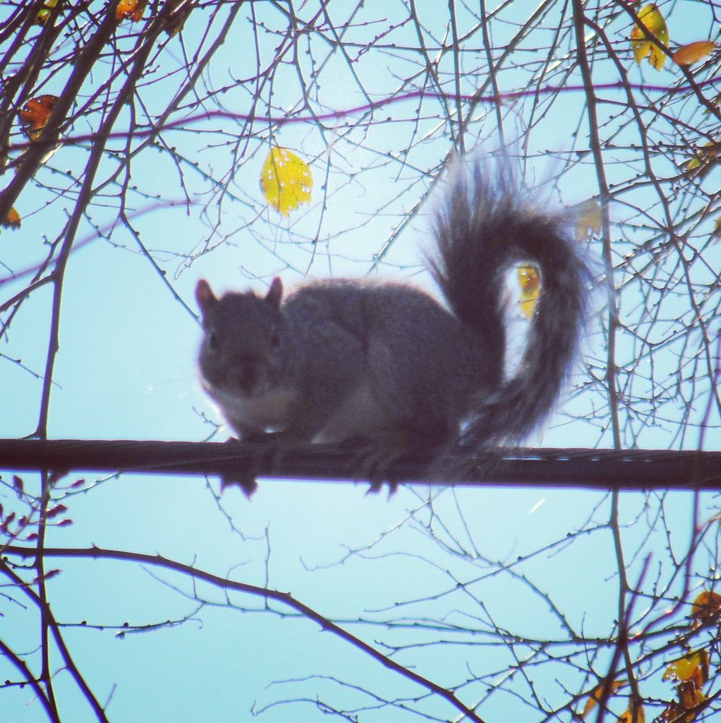 squirrel on a wire against the blue sky framed by branches with a few fall leaves