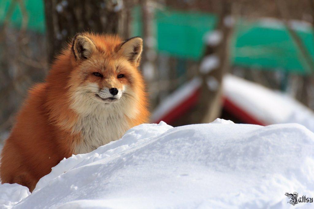 雪が似合う #蔵王キツネ村 #写真撮ってる人と繋がりたい #写真好きな人と繋がりたい #ファインダー越しの私の世界 #気に入ったらRT #写真 #フォロワー募集 #被写体募集 #東北が美しい #YattsuStyle https://t.co/MD9XXAkeNV