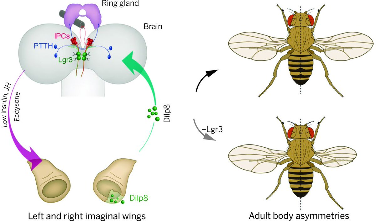 Musca domestica, a window on the evolution of sex