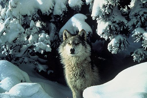 Wikipedia On Twitter The Winter Fur Of The Gray Wolf Is Highly