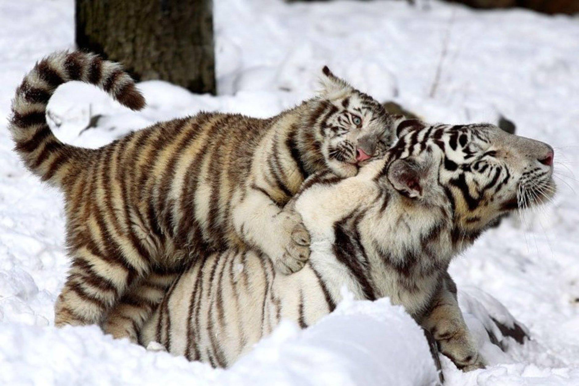Картинки тигренок я люблю тебя, надписью