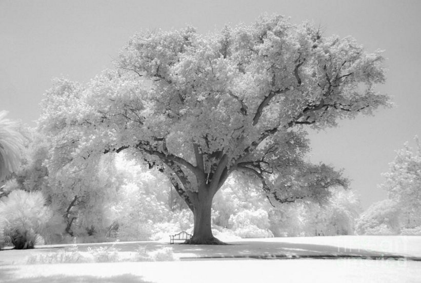 Oak Tree & Bench #Infrared - by @governali - https://t.co/f0cbeasVDG #photography https://t.co/AzU9ZVcvTk