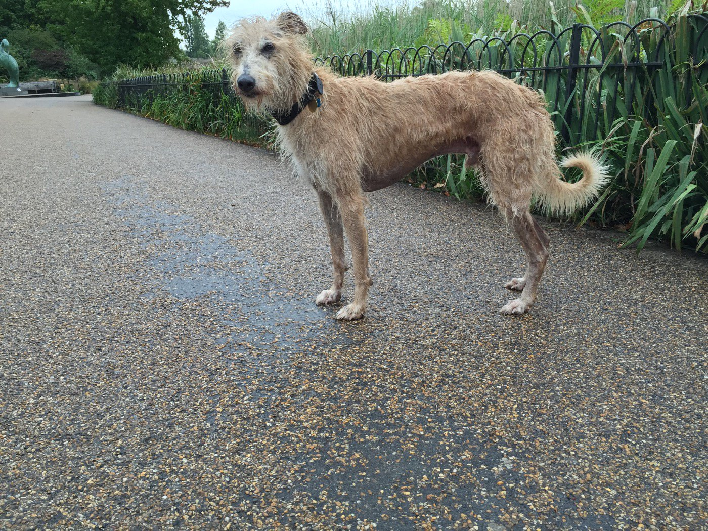 RT @spicerlife: @twitter 6 days since my Lurcher bolted. Please keep RTing perhaps someone doesn't realise he has owners who 💛 him https://…