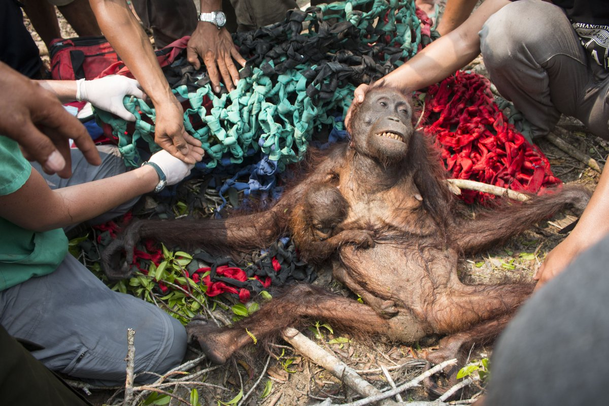 Mother & baby were forced out of rainforest & tortured by villagers -  rescued by our team: https://t.co/lNKLhVO362 https://t.co/tv3pzajikz