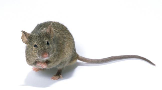 Brésil: Une souris dressée transportait de la drogue entre les cellules des détenus https://t.co/z6SioItyv2