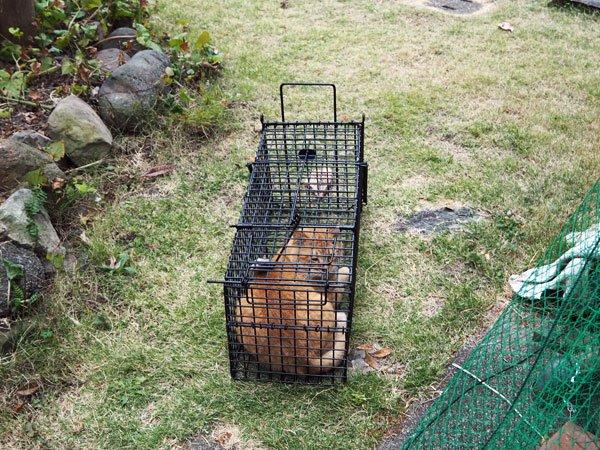 庭の金魚がアライグマの被害にあっているので捕獲器を設置しているのですが、連日近所の猫様が入居されて困る。違う、うちはリアルねこあつめをしたいんじゃない。(ちょっと嬉しいけど)君じゃないんだ。 pic.twitter.com/gtVINjiDyu