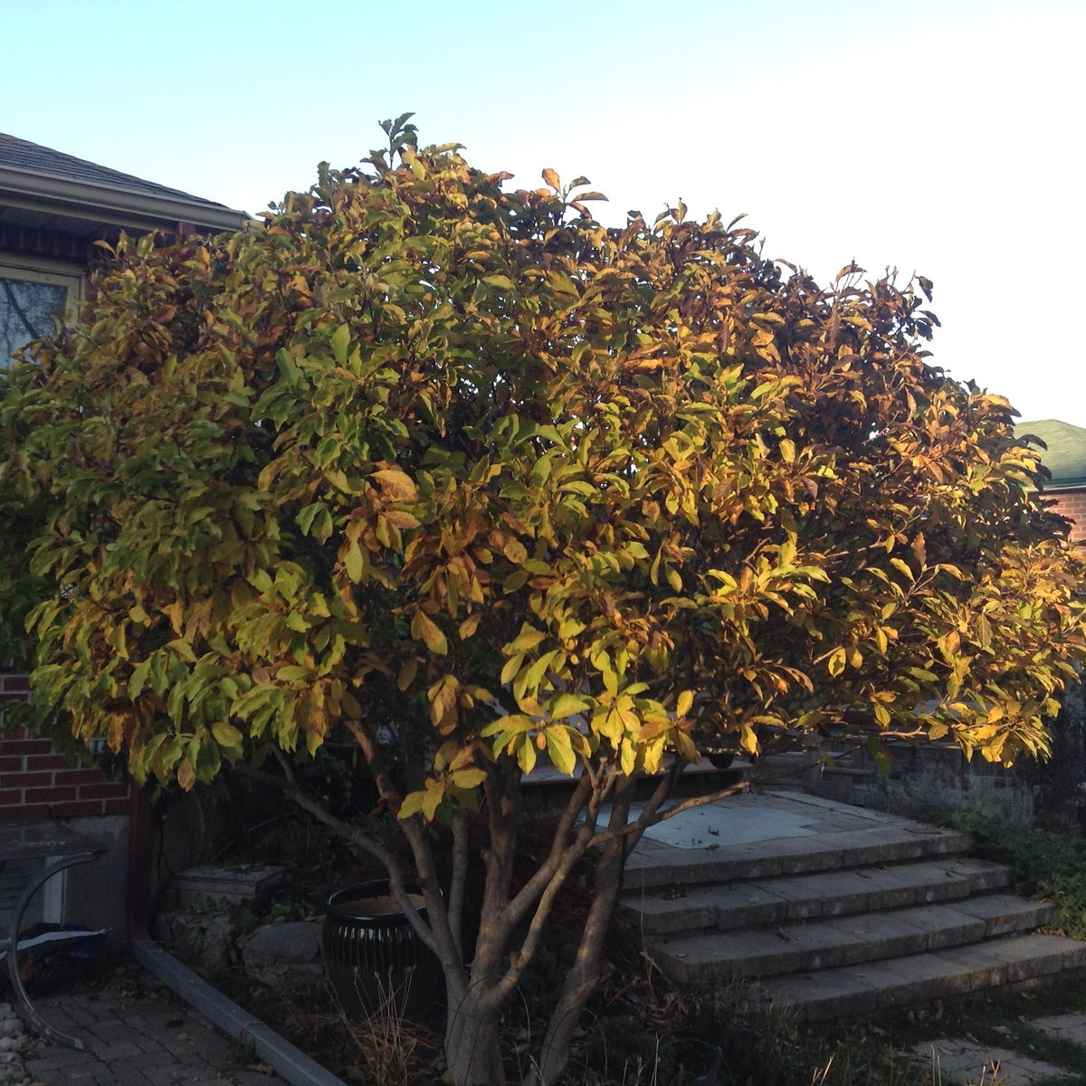 sunlit magnolia tree with yellowing leaves