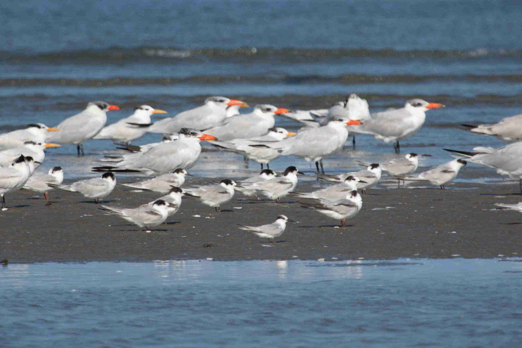 English little tern and other terns in Kartong, Gambia