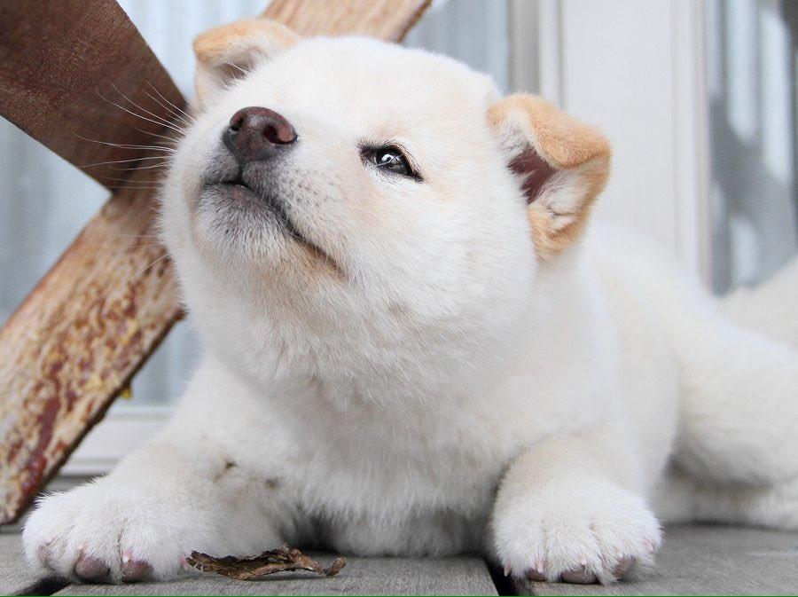 今の犬は雪の日に迎えたのでユキという名前になる予定だったが、対面してみると耳だけ茶色くて食パンぽかったので「ぱん」という名前になった。そのせいか食い意地の張った犬に育ったよ(-_-) #犬に名前を付けた日の事を話そうよ pic.twitter.com/q6lW244VED