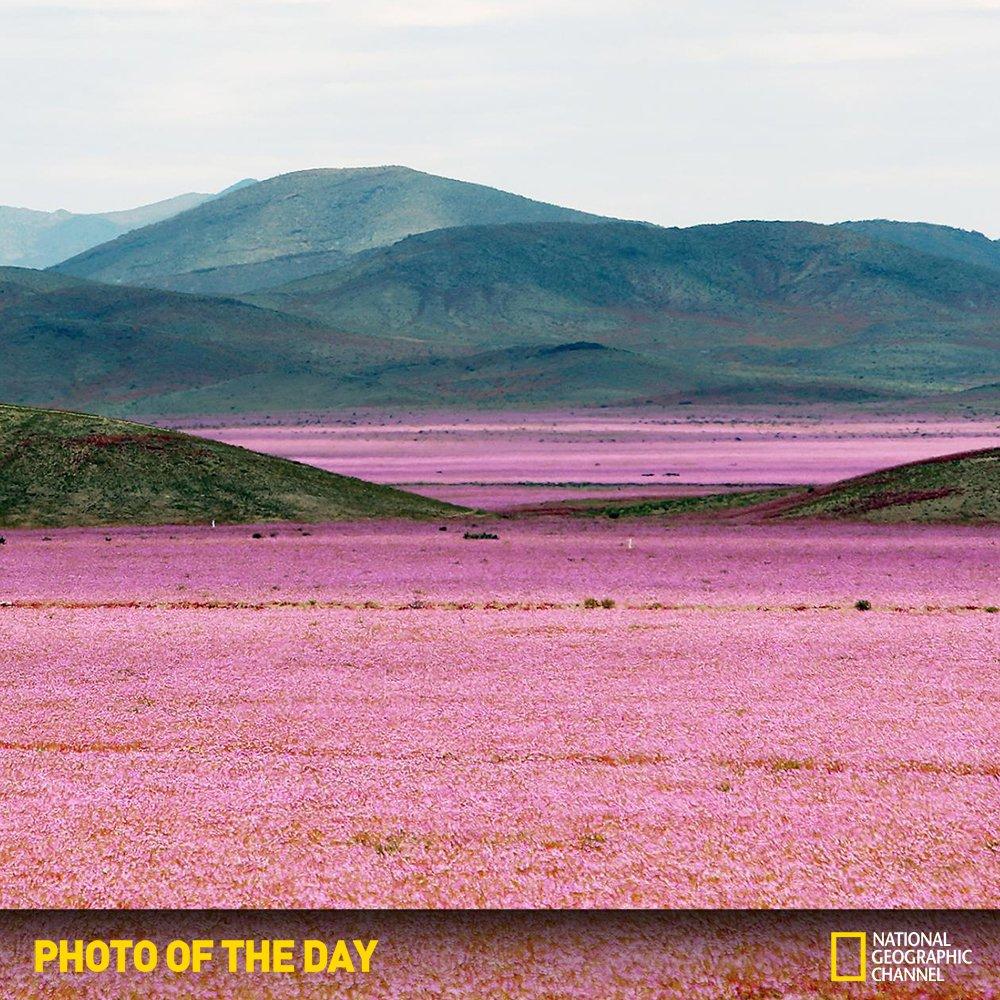 [내셔널지오그래픽채널 오늘의 포토] 두세달 전까지만해도 텅 빈듯 보이던 칠레의 아타카마 사막은 지금 분홍빛으로 물들었습니다. 엘니뇨 현상으로 사막에 비가 한바탕 내린 뒤 수백만송이 꽃이 사막을 뒤덮은 것이죠 https://t.co/HaESSht651