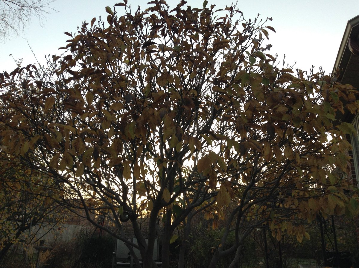 magnolia tree with many leaves missing in foreground to sky visible between its branches