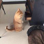 【猫生態新発見】愕然とした猫は、ミーアキャット形で固まるらしいにょ