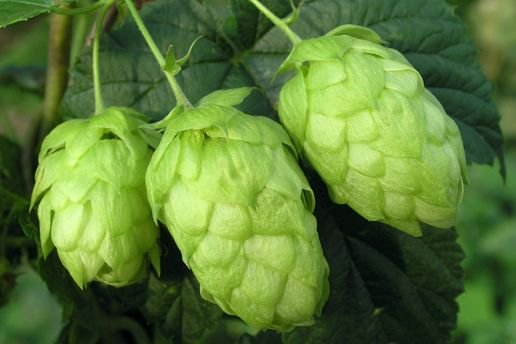 Ever wonder just how hops work in a beer? Here's a solid primer on hop anatomy & chemistry: https://t.co/BcT2izitQo https://t.co/zD2ik9g0Ls