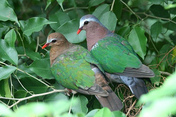 Emerald Dove - a species that returned to Germaine Greer's land once the rainforest was restored #NatureMatters15 https://t.co/v4QTGGEkF9