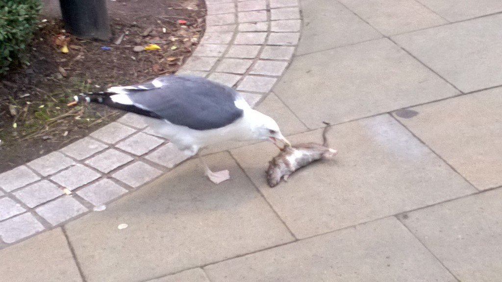 A one legged seagull pecking at a dead rat, welcome to Brum https://t.co/bZUFy7yuTe