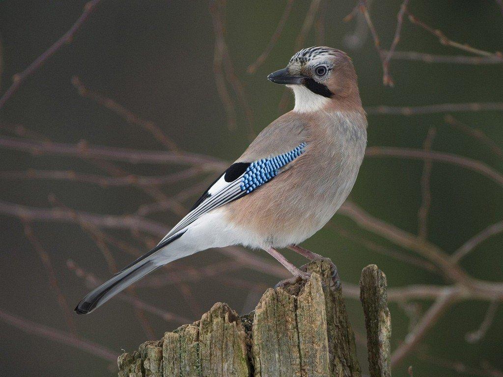 россии птица с голубыми крыльями картинки связи этим украшение