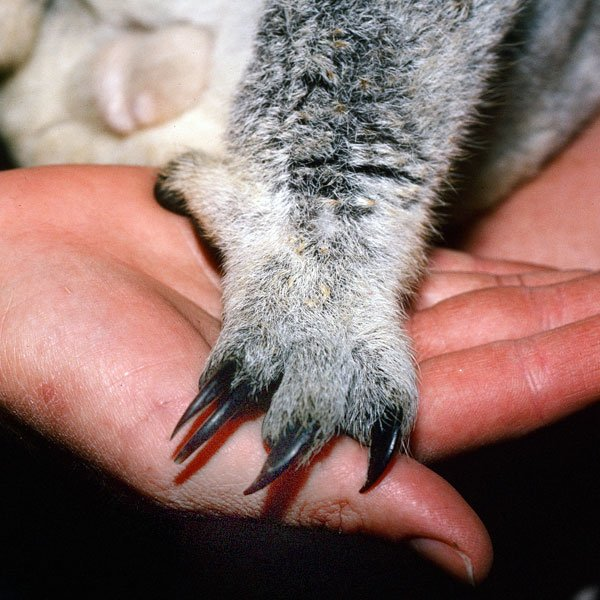 #いい肉球の日  コアラの後肢は、人差し指と中指がいっしょになっています、爪が二つ並び、骨も別々。そして親指には爪がない。そして指紋もあるという珍しい動物。しっかり枝をつかめる構造ですね。