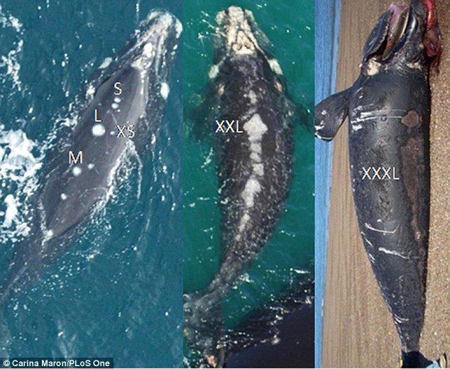 Le ferite riportate dalle balene dopo gli attacchi dei gabbiani.