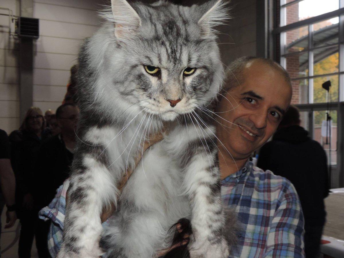【画像17枚】世界最大のイエネコの一種『メインクーン』 山猫に似て凶暴そうな外見だが、ジェントルジャイアント(穏やかな巨人)と呼ばれるほど温厚で人懐こい性格。起源が不明の謎多きネコ