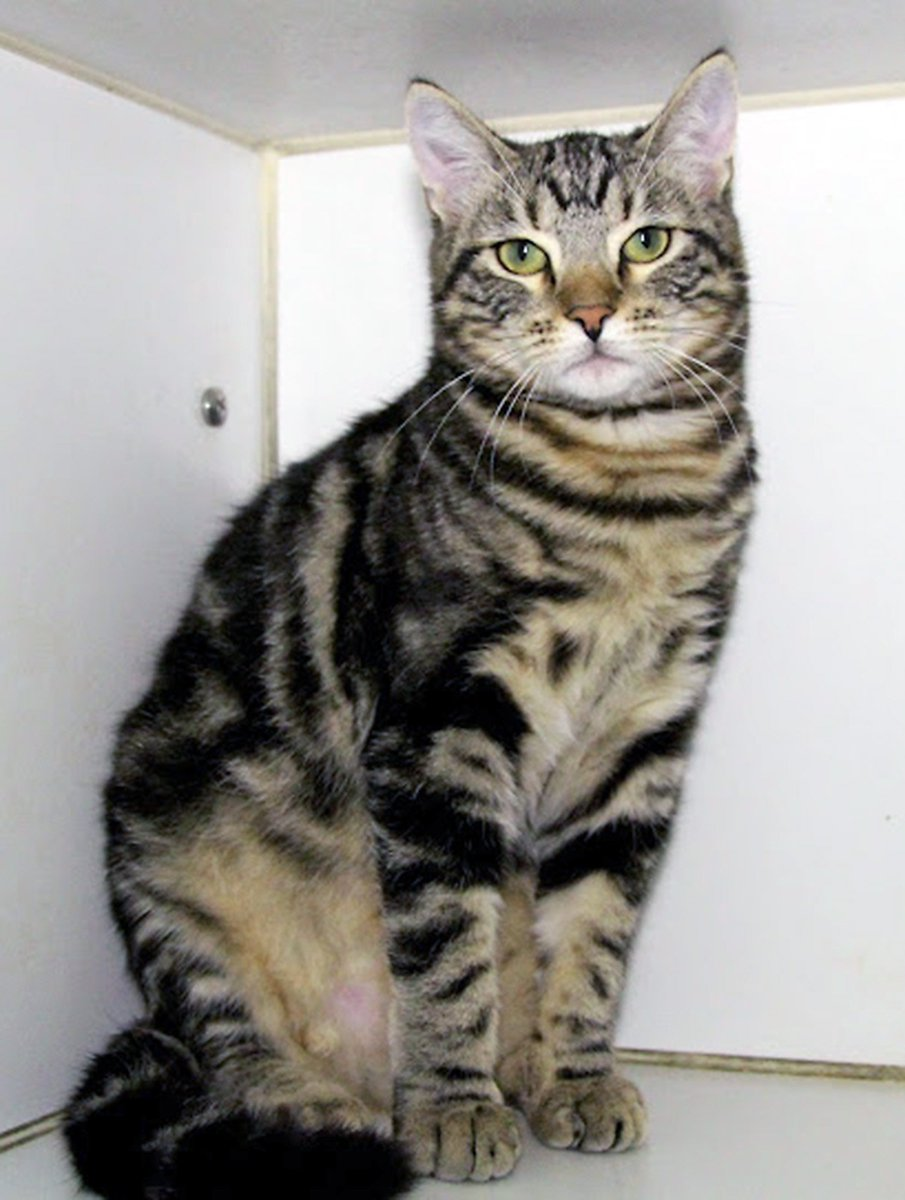 Sweet, shy Crosby is a 7-month-old male tabby awaiting a new home at @burbankanimals. https://t.co/VHaWTl1aPS https://t.co/khEEZB2iNm