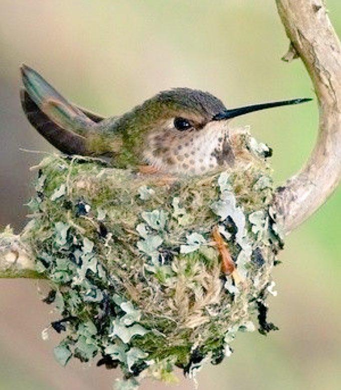 Resultado de imagen de nidos del colibri