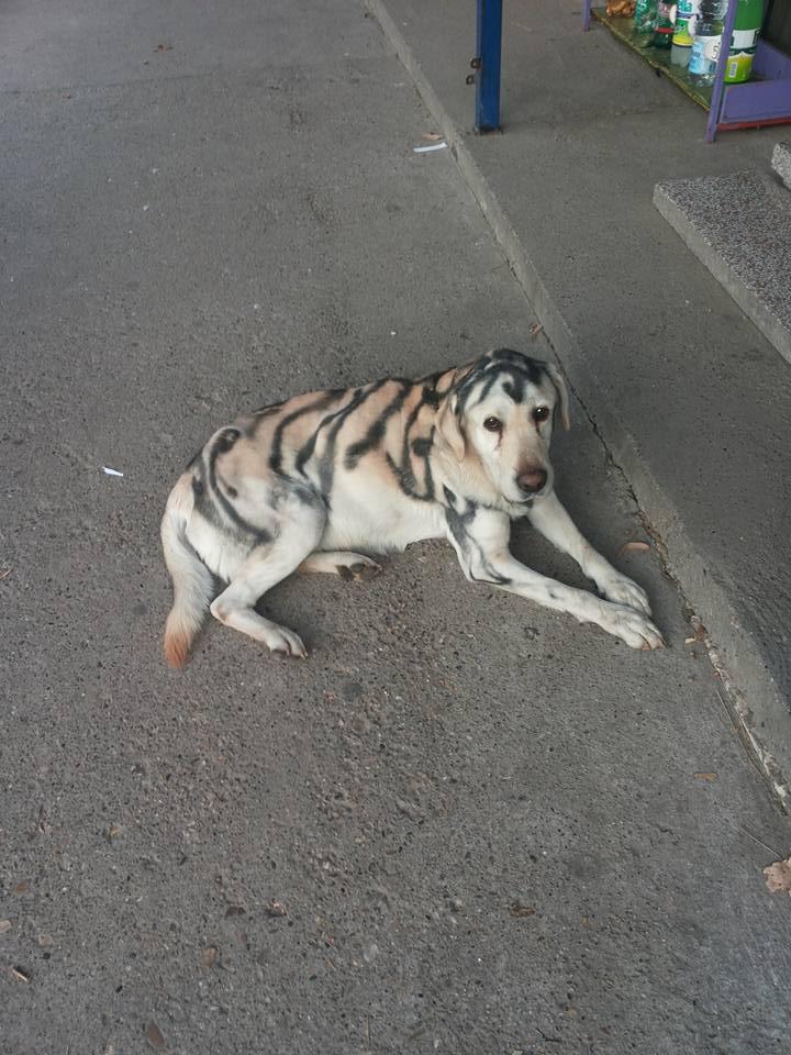 OKRUTNO Psa ofarbali auto lakom kako bi ličio na tigra!