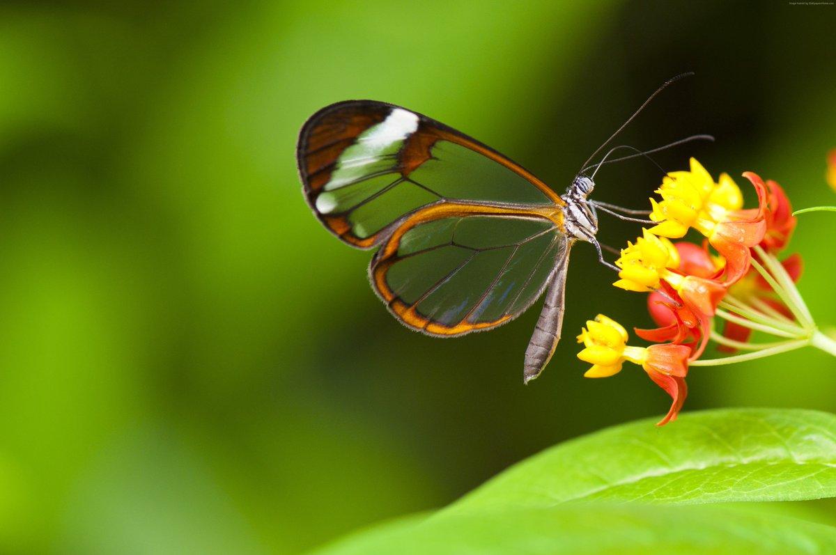 Indahnya Kupu Kupu Bersayap Transparan