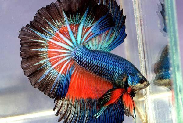 Rakib rubel on twitter most beautiful betta fish in the for Most beautiful betta fish