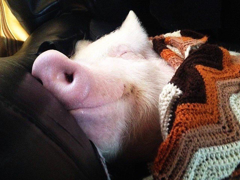 свинка проснулась фото лишь