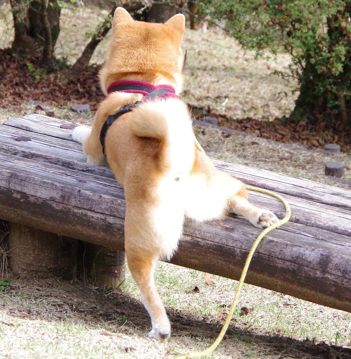 犬の失敗を笑っちゃダメですね。  乗り損ねて片足ズリ落ちたのを大笑いしたら 「初めからこうするつもりだった」的にそのままキープするプライドの高い柴犬。