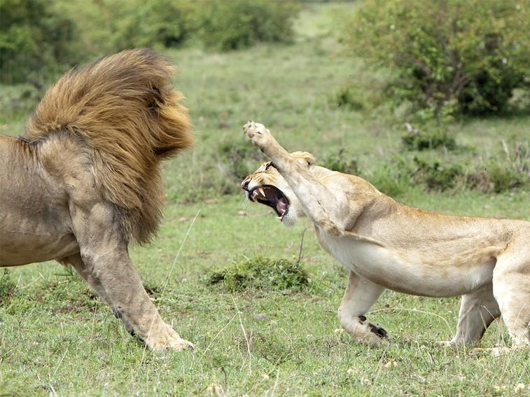 Lions have the highest percentage of muscle in their body ...