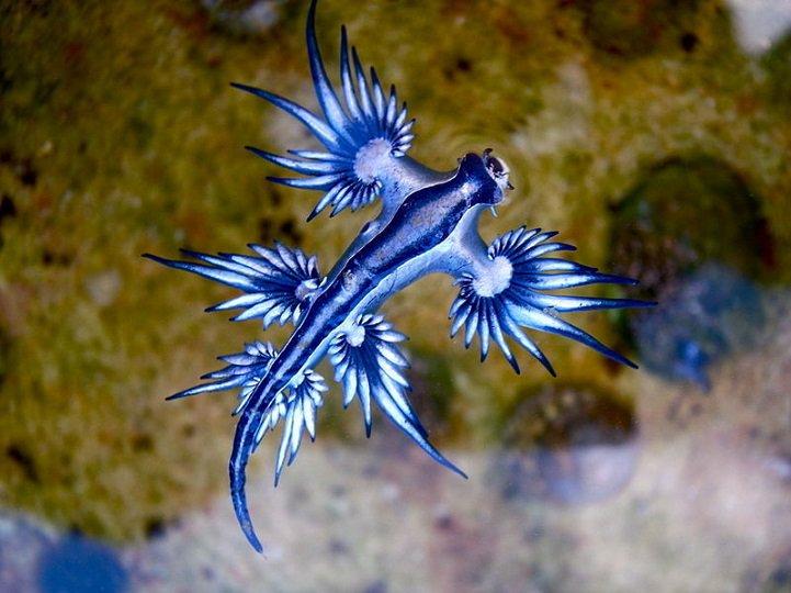 豪州の海岸で大変稀少な「ブルードラゴン」(アオミノウミウシ)が発見される。奇妙な形でまだよく知られていないこのウミウシは、手の平に簡単にのせられるほどの小ささ。青い模様が美しい。mymodernmet.com/profiles/blogs… pic.twitter.com/kOKydlPrqn