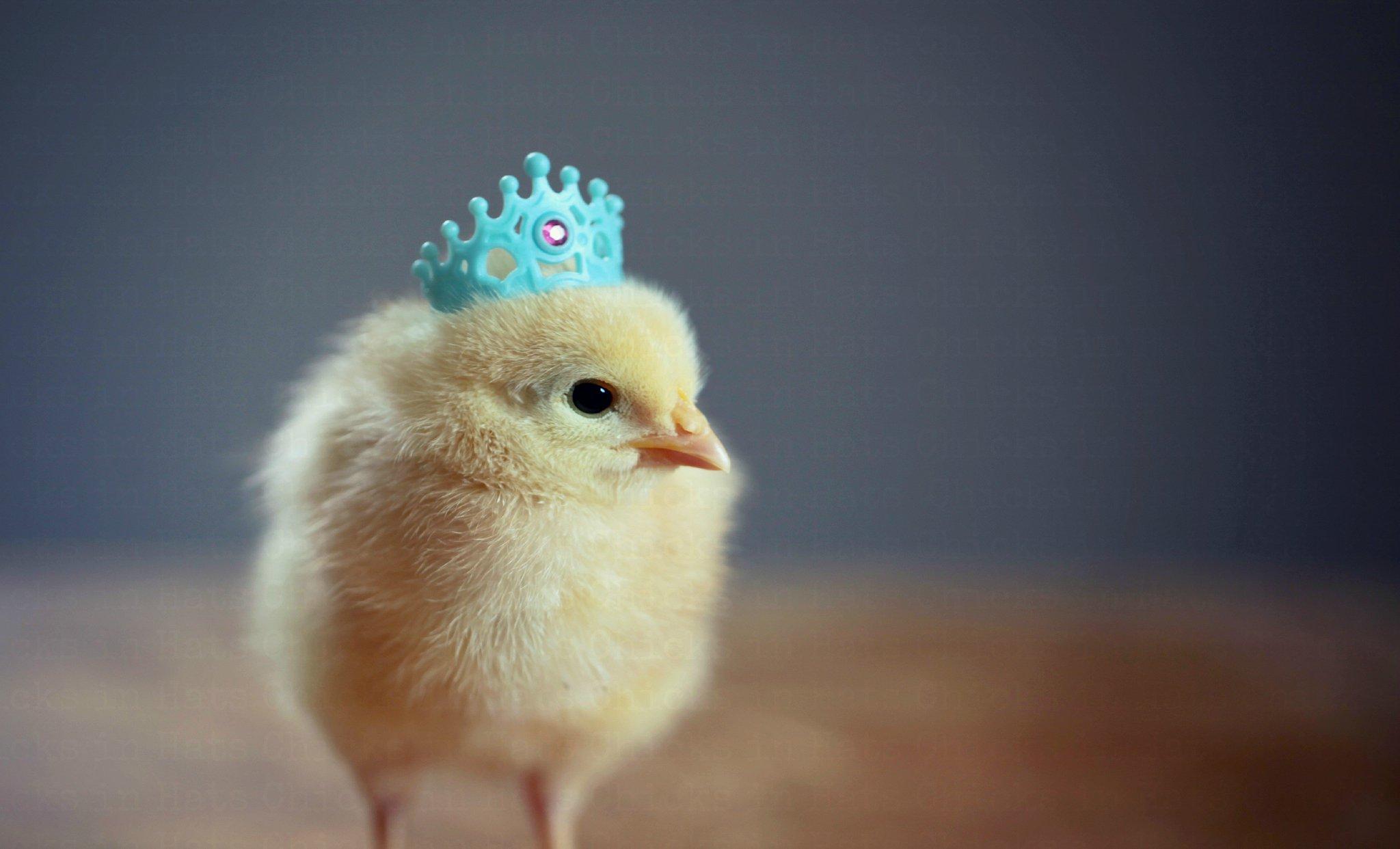 Прикольные картинки цыпленка, картинки для детей