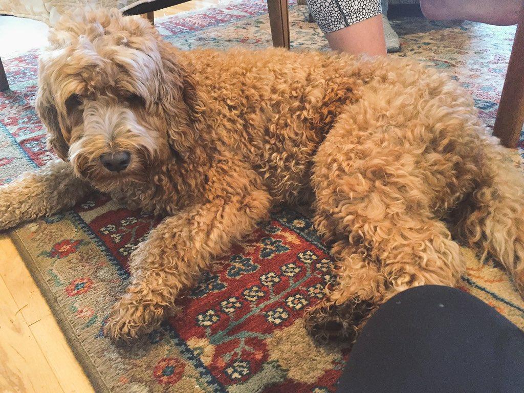 Brown Curly Hair Dog Brown Hairs
