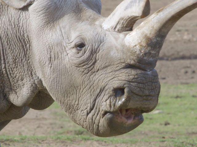 Orrore allo Zoo di Parigi: ladri uccidono un rinoceronte per rubare il corno