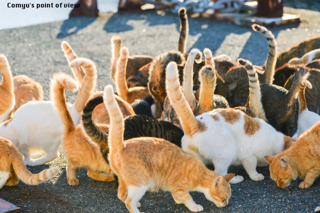 「しっぽ祭り」  愛媛県の青島にて連日開催中。  #猫 #猫部 #猫画像 #猫好きさんと繋がりたい #にゃんこタイム #ねこあつめ #しっぽ祭り #東京カメラ部 #猫好きな人RT #行ってみたくなったらRT #本数わかったらRT https://t.co/vsYcni2I3f